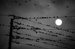 birds with moon (Jeremy Stockwell) Tags: city sky urban blackandwhite bw moon motion lines birds animal animals clouds dark fly flying inflight nikon power many fear crowd flight cable powerlines cables rows wires thebirds photofriday nightlife hitchcock vignette lots crowded urbanlandscape starlings birdonawire birdsonawire d40 jeremystockwellpix nikond40 cableicious captureindy photofridayfear photofridaynightlife