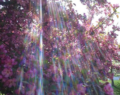 cherry_tree1