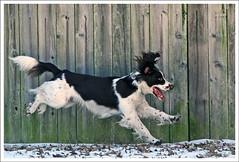 IMG_5673jw (hz536n/George Thomas) Tags: winter dog oklahoma ess darwin springer springerspaniel stillwater 2007 damncool englishspringerspaniel canon30d canonef70200mmf4lusm
