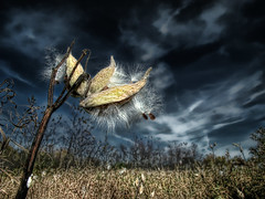 milkweed (ViaMoi) Tags: art colors digital photoshop paint flickr colours image render creative images 2008 imagery imagist diamondclassphotographer flickrdiamond viamoi