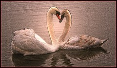 Happy St Valentines to you all .. lots of love (kjlast) Tags: uk england lake cute love water birds loving canon hearts happy 350d rebel xt kent swan couple heart sweet swans card valentines rebelxt waterfowl inlove clintons leybourne snodland theyaremine pleasedontusethisimageonwebsites blogsorothermediawithoutmyexplicitpermissionthesephotosarentfree pleaserespectthatallrightsreserved