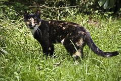 Stella Explores the Garden (pj_in_oz) Tags: urban fauna cat wildlife sydney australia urbannature nsw tortie animalplanet ashfield inthegarden canon30d tortiseshell canonef24105mmf4lisusm 17february2008