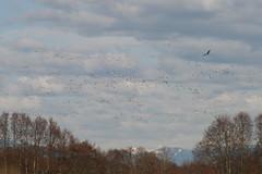 Snow geese and hawk (Global Hermit) Tags: hawk reifel snowgeese