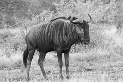 Wildebeast or Gnu
