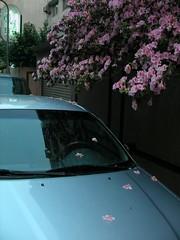 東區巷弄中盛開又盛開的杜鵑花