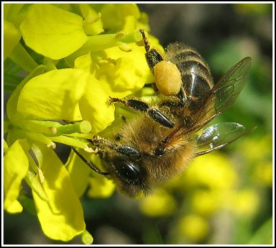 bee on salad flowers copy