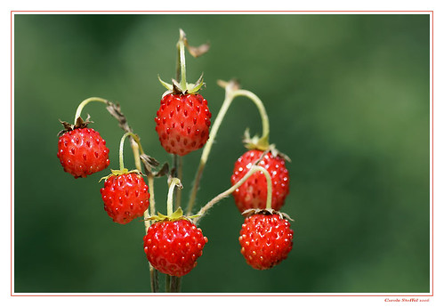 fraises des bois by Lumières des Alpes (on flickr)