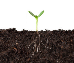 Cutaway of Plant Growing in Dirt (hjudy81044) Tags: life above new white plant green underground one side roots ground growth dirt whitebackground single below growing root simple beneath sprout seedling rooted cutaway proflie