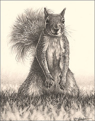 'Looking for Lunch' - Grey Squirrel -  Fine Art Pencil Drawings  www.drawntonature.co.uk (kjhayler) Tags: pictures wild portrait blackandwhite art nature animal animals illustration pencil portraits print sketch photo artwork squirrel squirrels image artgallery pics drawing contemporaryart wildlife fineart sketching arts picture drawings pic images photographic naturalhistory prints rodents britishwildlife linedrawing artclass animalart pencildrawing wildanimals animalprints artlesson pencildrawings wildlifeimages limitededitions linedrawings squirrelhunting portraitdrawing wildlifephotography wildlifephotos animalphotos howtodraw squirrelwildlife britishart northamericanwildlife learntodraw greysquirrels fineartprints squirrelportrait graysquirrels wildlifeportraits americanwildlife britishanimals wildlifedrawings britishwildlifeartprints photopencildrawing squirreldrawings squirrelphotos squirrelpictures squirrelimages squirrelphotographs drawingphotographs picturessquirrel britishwildlifepictures squirrelsketches
