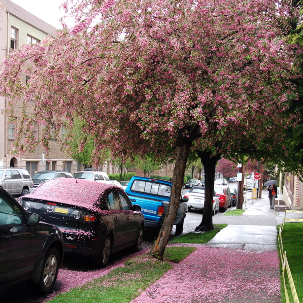 cherry_pink2_spring07