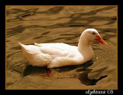 Vak vak (zbay IIK FOTORAFILIK) Tags: ducks rdek hayvan objektif flickrcolour anawesomeshot objektivist thebestofday gnneniyisi flickrbestpics