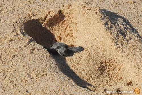 Hatchling green turtle (Chelonia mydas)
