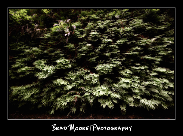 Redwoods_Ferns