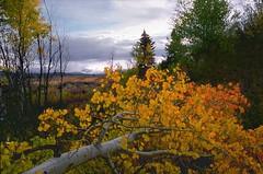 Teton Fallen Aspen #2 -- 9/2004 (wanderingYew2 (thanks for 3M+ views!)) Tags: film forest geotagged fallfoliage aspens wyoming grandteton jacksonhole filmscan grandtetonnationalpark greateryellowstoneecosystem
