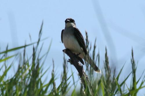 Eastern Kingbird {Tyrannus tyrannus}