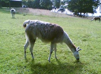 Sewerby Hall - Llama