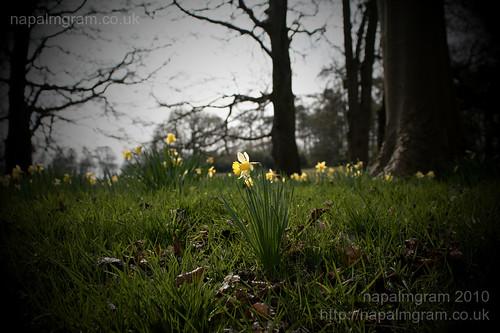 Daffodils at Kedleston Hall April 2010