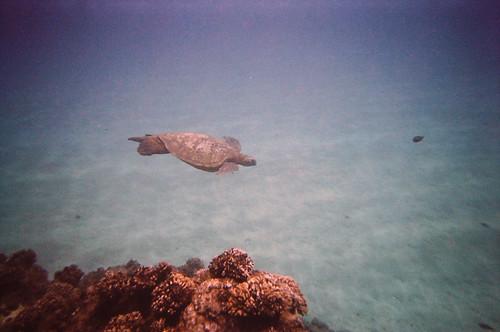 Sea Turtle at Black Rock (2)