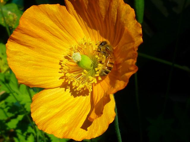 poppy + bee