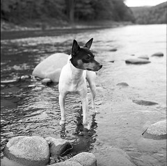 Butternut-Grove-V (Buck Lewis) Tags: portrait blackandwhite bw dog 120 film water rolleiflex creek terrier toyfoxterrier tft thephotoholic