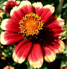 Yellow-Red (madbesl) Tags: flower top20red top20everlasting excellentsflowers natureselegantshots mimamorflowers