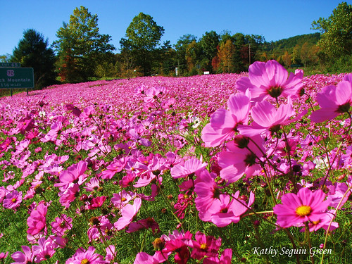 Sea of Pink Cosmos