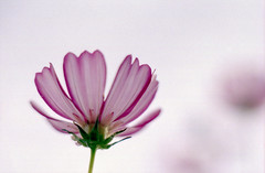 (yonezawa_shinichi) Tags: morning pink autumn flower fall film japan japanese dew   cosmos 5mikesep clmike