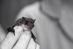 Young Aussie Bat (Sionth) Tags: rodent bat flyingfox bats tianna batty kuranda flyingfoxes blueribbonwinner cairs sionth impressedbeauty flickrchallengegroup flickrchallengewinner brillianteyejewel batrescue australianbats