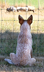 Sheepdog Wannabe (zingpix) Tags: usa dog dogs jeff puppy washington all cattle  australian explore rights queensland jeffrey australiancattledog animalplanet reserved heeler acd redheeler blueheeler allrightsreserved abigfave zingpix jeffjaquish jaquish jeffreyjaquish
