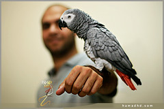 ABDALRAHMAN ALTERKIT (Hamad Al-meer) Tags: canon eos 50mm 14 parrot hd hamad 30d abdulrahman hamadhd alterkit hamadhdcom wwwhamadhdcom