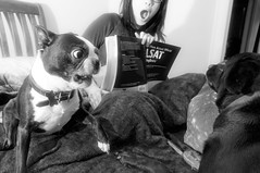 untitled (blogjam_dot_org) Tags: dog bostonterrier texas houston montrose nikkor1735mmf28d misterpeabody