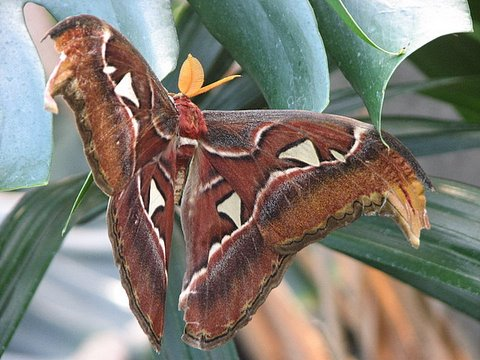 atlas moth (huge moth, just got out from pupa and dried its wings)