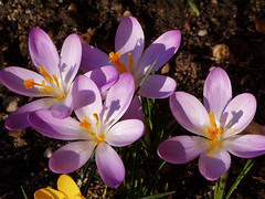 Frhlingsboten (Iveta) Tags: flowers flower yellow interestingness spring klein purple little small blumen lila explore gelb krokus frhling blten iveta niederrhein friendlychallenge friendlycomments