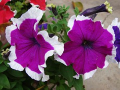 White border 3 (asis k. chatt) Tags: flower purple vivid petunia fabulous naturephotography  fantasticflower naturalharmony fabulousflower flowerwatcher naturewatcher perfectduo