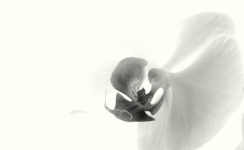 Fragile Orchid, Monochrome