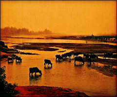 Watering place (Katarina 2353) Tags: nepal light sunset orange lake black film water animals landscape photography gold amazing nikon asia flickr tramonto cows image lakes paisaje explore paysage priroda paisagens tjkp pesaggio pejza katarinastefanovic katarina2353 gettylicence