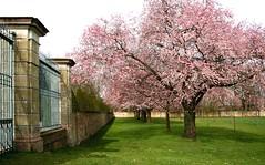 zierkirschen_6-100308 (siggi2234) Tags: märz frühling schlossgarten schwetzingen moschee kirschblüten zierkirschen shwotan siggi2234 siegfriedhuebner kirschblüüten