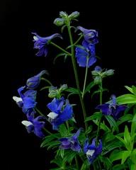 Delphinium kamaonense (Todd Boland) Tags: flowers delphinium ranunculaceae alpines