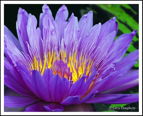 Water Lily in Color at the Botanical Garden