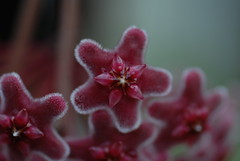 purple hoya (Inflekt) Tags: macro purple hoyacarnosa hoya waxplant porcelainflower starshapedflower