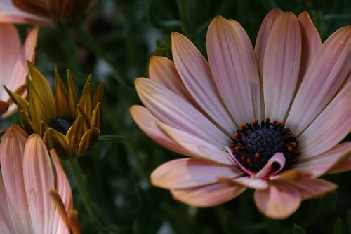 osteospermum-Ostica