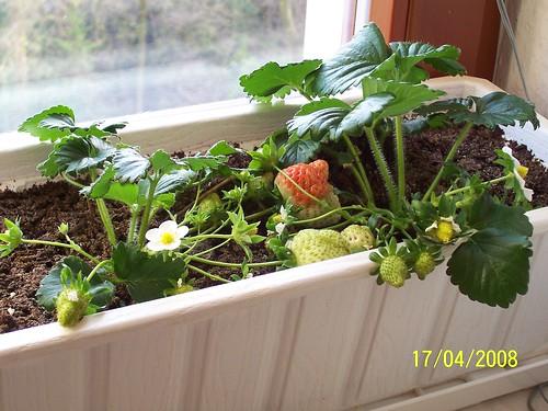 Erdbeeren im April