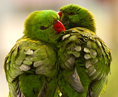 Luvvy parrots (Nikonsnapper) Tags: green love loving pretty heart pair feathers preening polly cuddle parrots campsite dapa 100faves 50faves mooneebeach aplusphoto avianexcellence diamondclassphotographer flickrdiamond australia2008 theloveshack project3662008april exploreapril282008278 phvalue nikonsnapper ccspr
