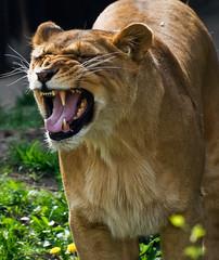 Stinky face! (hadowdancer) Tags: nose nikon feline lion chloe bigcat smell soe africanlion supershot stinkyface flehmeneffect d80 specanimal mywinners shieldofexcellence anawesomeshot impressedbeauty empyreananimals nikkor70300mmf4556vr vomeronasalorgan