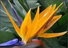 Finally (katrin glaesmann) Tags: flower colours birdofparadise greenhouse gewchshaus compactcamera strelitzia strelitzie herr