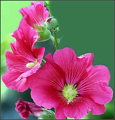 Hollyhock Heaven (NupurB) Tags: pictures flowers trees red plants flower macro green nature floral garden spring photos blossom canon350d excellentsflowers natureselegantshots mimamorflowers auniverseofflowers