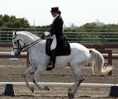 Gray Warmblood (Just chaos) Tags: from horse view you photos or everyone ungulate animalia mammalia equus domesticated equidae equuscaballus chordata perissodactyla oddtoed oddtoedungulate caballusx