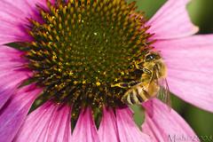 Bee On Coneflower (Michelle in NY) Tags: flower nature insect bee coneflower canon100mmf28macro purpleconeflower bej canoneos40d brillianteyejewel michellegreene michelleinny wwwmichelleneacycom michelleneacygreene