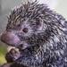 Rothschild's porcupine Gamboa Wildlife Rescue pandemonio 2017 - 06