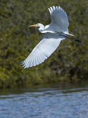 Great Egret (francisgmorgan) Tags: greategret flyingegret